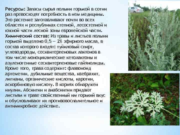 Горькая полынь (белая) – лечебные свойства и противопоказания, применение