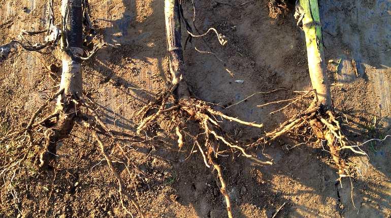 Корень подсолнуха – лечебные свойства и противопоказания. корни подсолнуха от камней в почках – рецепт
