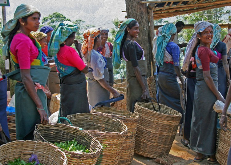 Цейлонский чай: цены, как выбрать и где купить? | mama asia