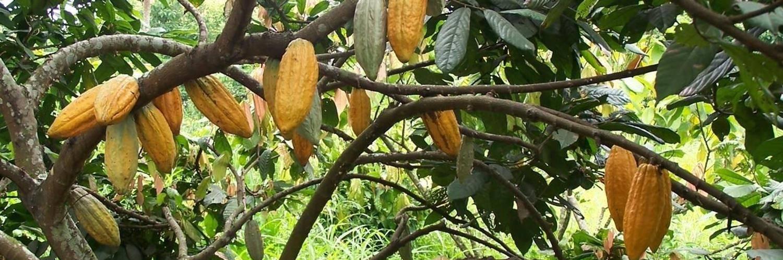 Шоколадное дерево в комнате — особенности выращивания какао. уход в домашних условиях. фото — ботаничка.ru