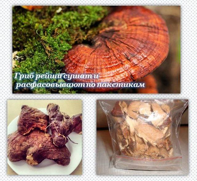 Гриб рейши — лечебные свойства и противопоказания