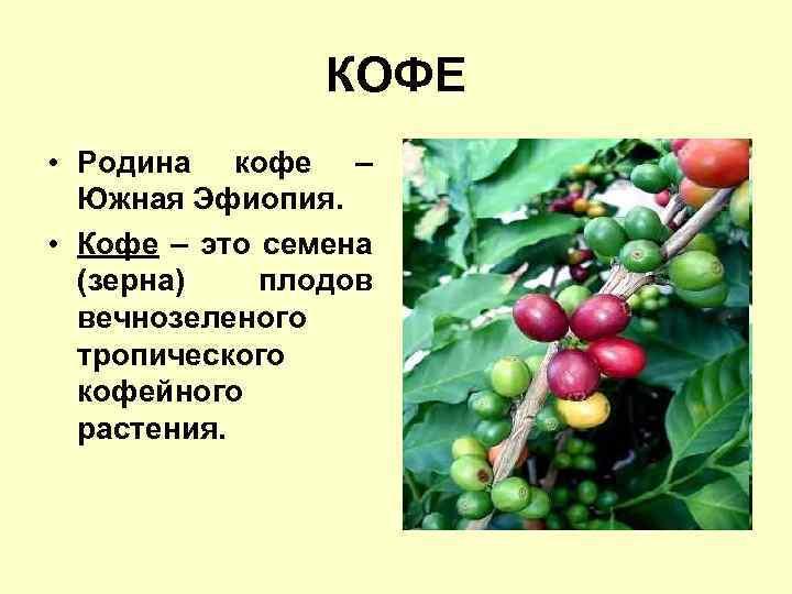 Родина кофе - какая страна является родиной кофейного дерева?
