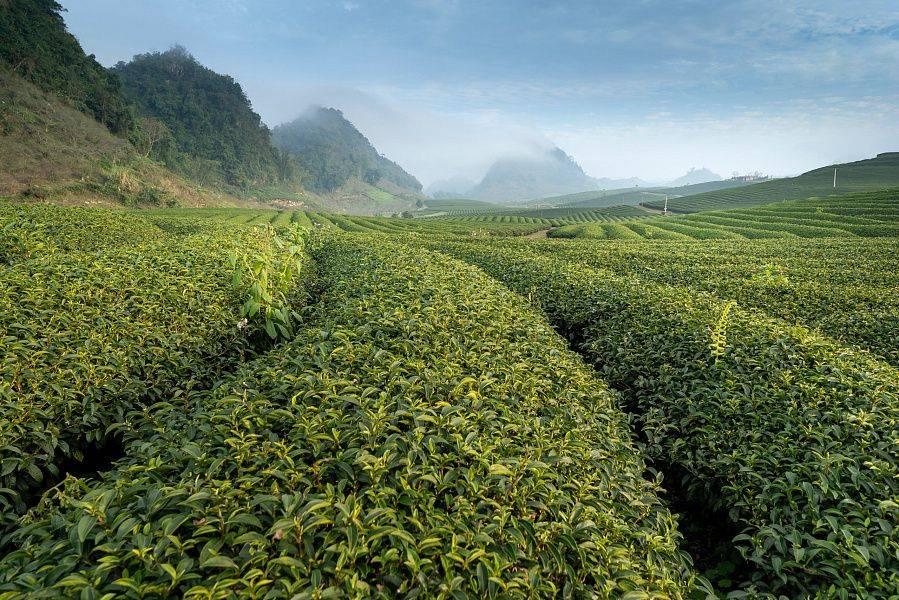 Возрождение чайной отрасли кубани: мнения экспертов и производителей - teaterra | teaterra