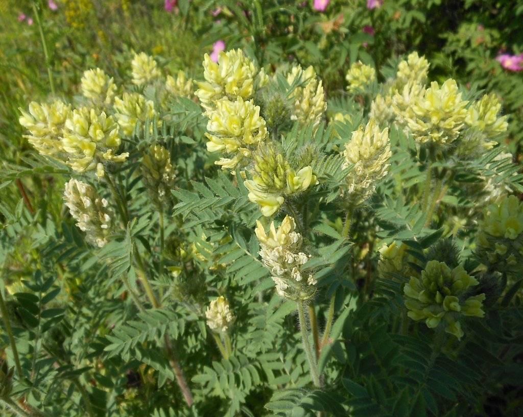 Астрагал — лечебные свойства и противопоказания, применение травы