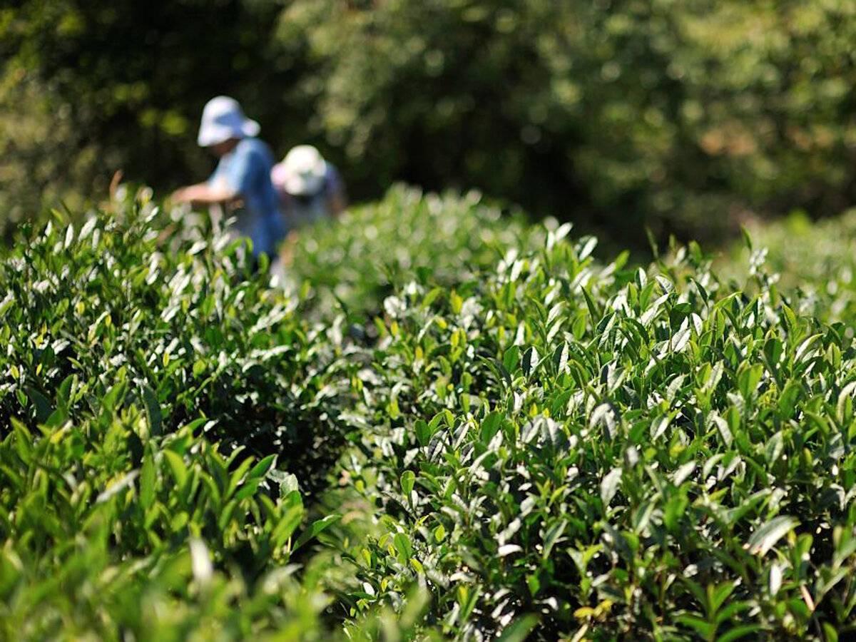 Особенности и полезные свойства краснодарского чая