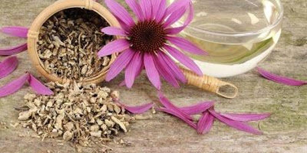 Лечебные свойства и противопоказания эхинацеи пурпурной, применение в народной медицине