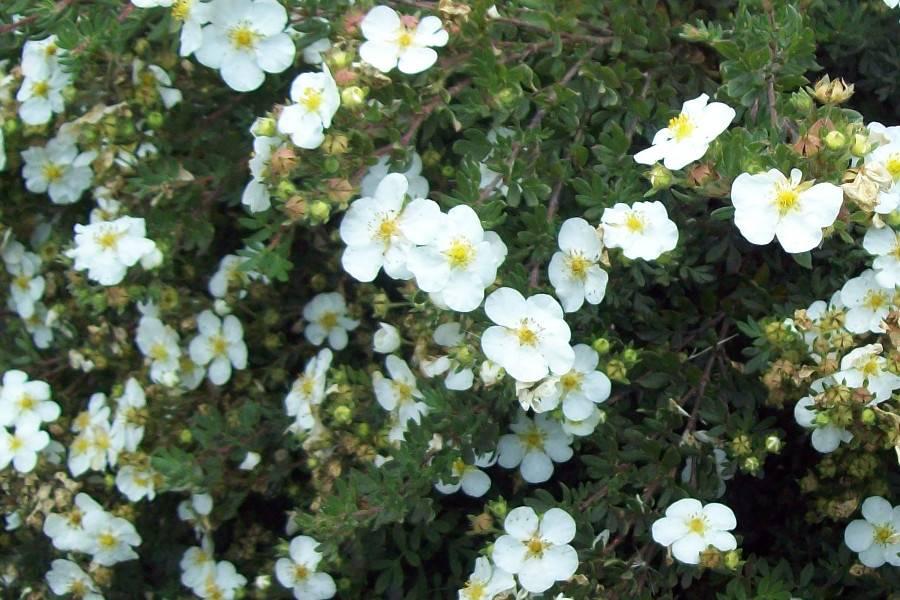 Курильский чай (кустарниковый, лапчатка) — лечебные свойства и противопоказания ☕