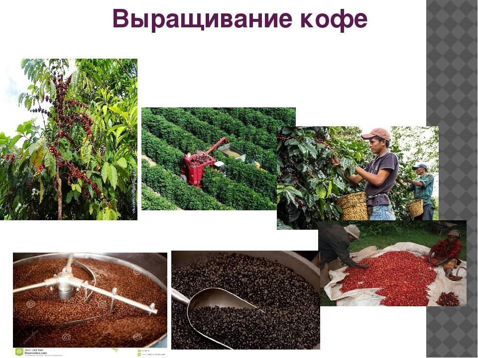 Где растет самый лучший кофе в мире и в каких странах