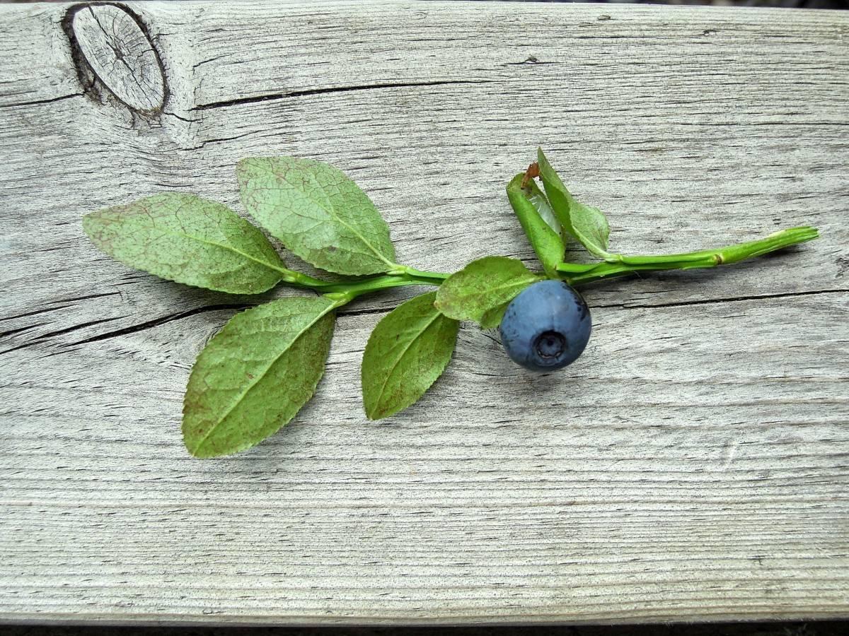 Листья черники и их применение