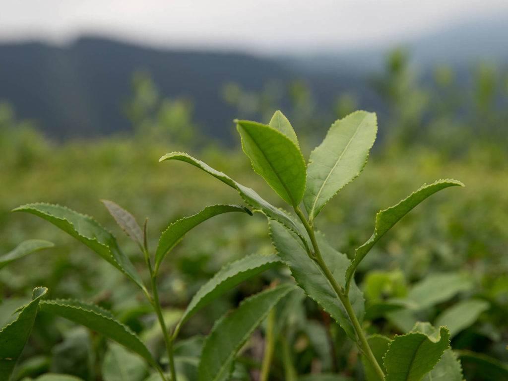 История краснодарского чая