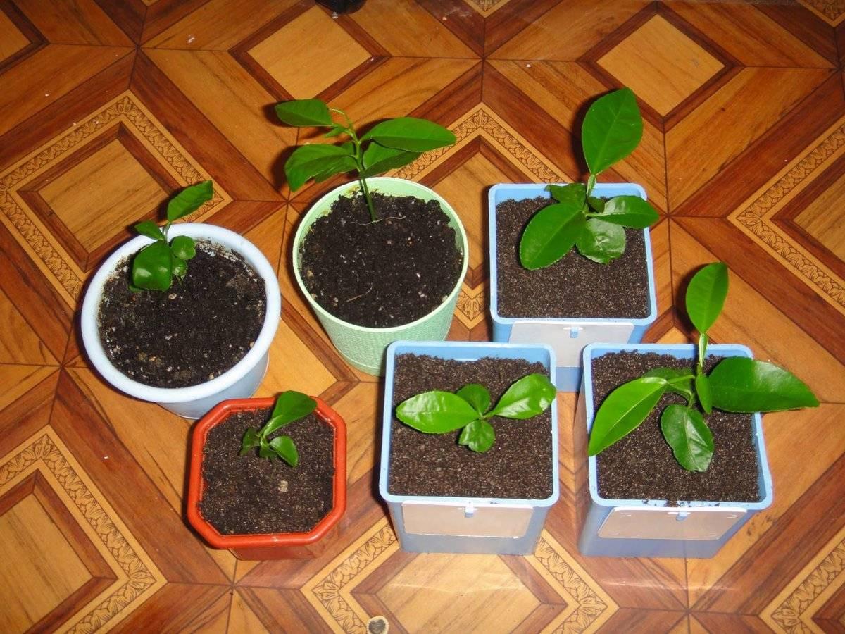 Кофейное дерево: секреты выращивания и ухода в домашних условиях