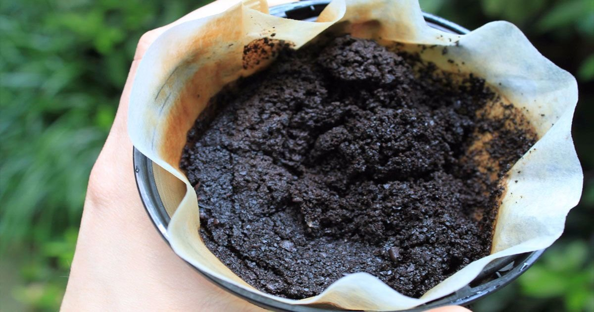 Полезные свойства кофейной гущи в качестве удобрения, как правильно использовать