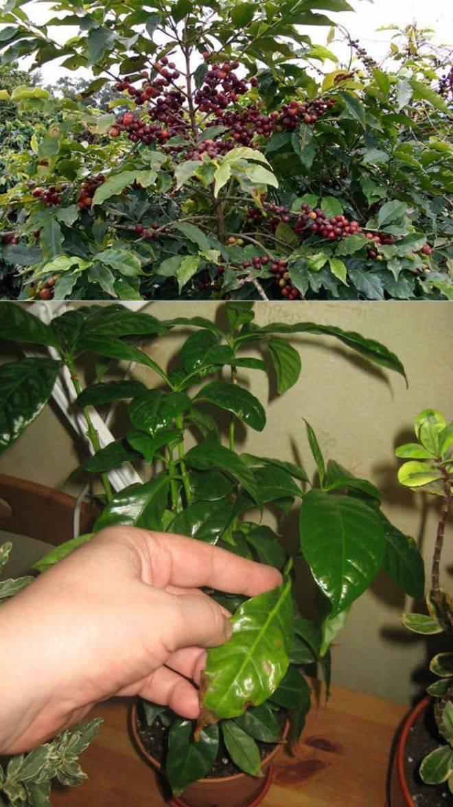 Растение кофе: фото, виды, описание, разведение и особенности ухода