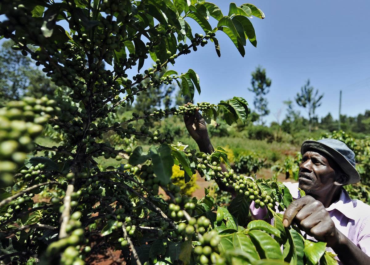 Характеристика камерунского кофе