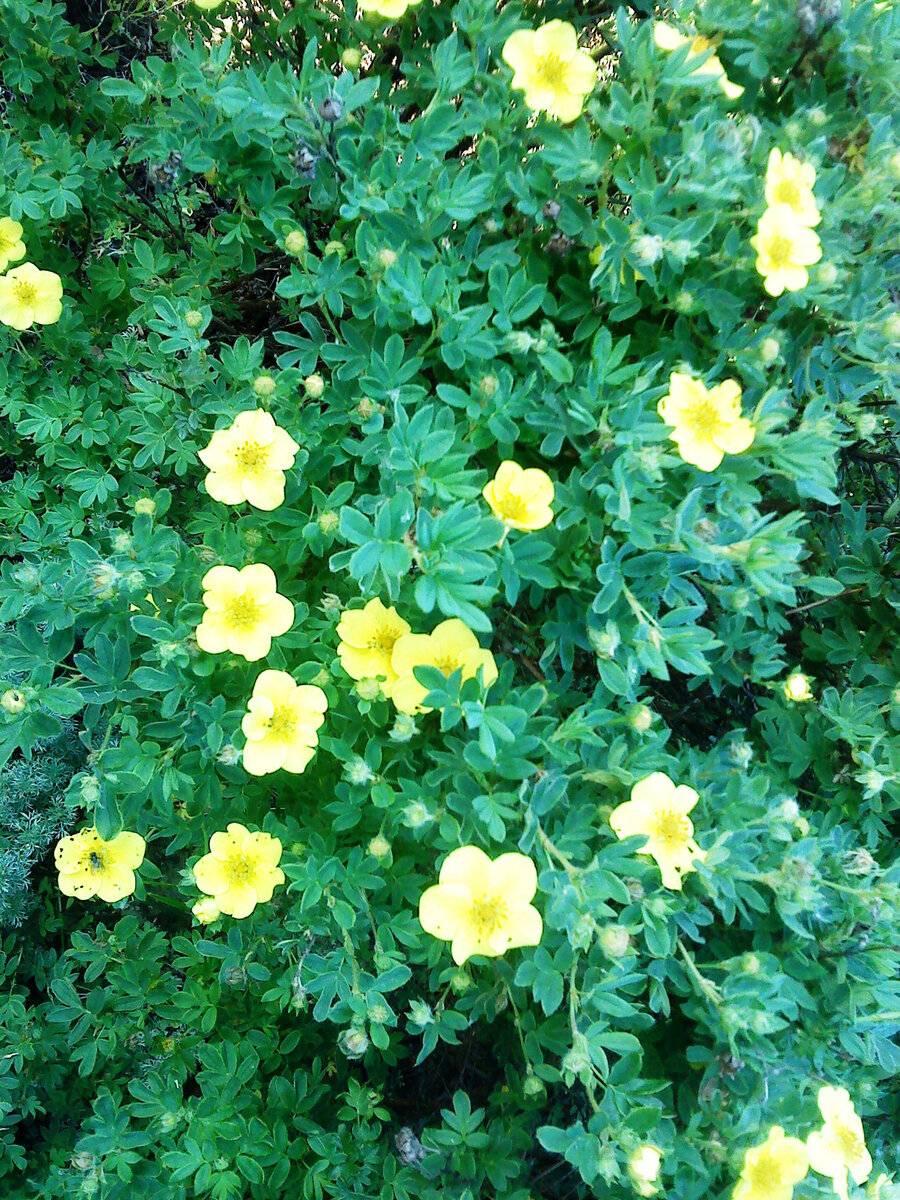 Лапчатка кустарниковая: полезные свойства, противопоказания, хранение и применение