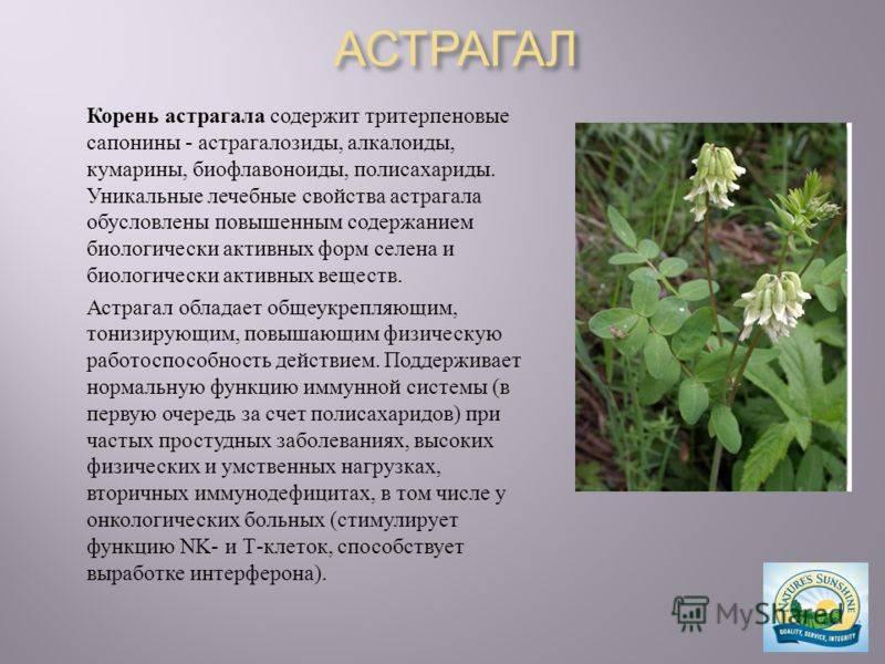 Растение астрагал лечебные свойства и противопоказания, влияние на человека