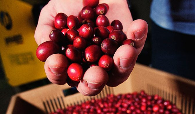 Кофе бурбон — что это такое, история, особенности, вкус, сорта, отзывы