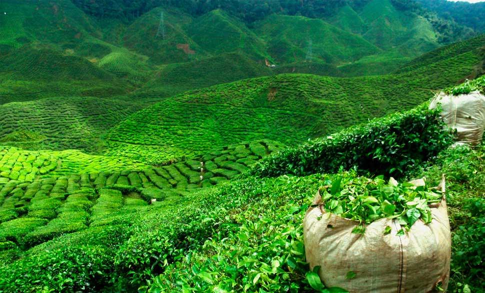 Какой чай пьют в индии, и есть ли у них чайная традиция?