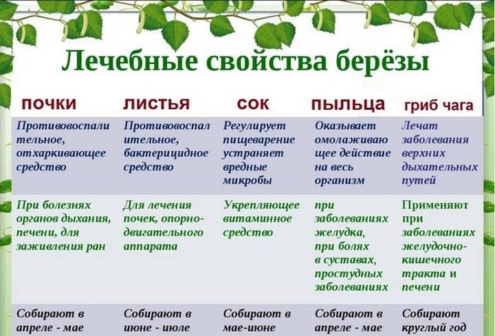 Березовый лист: полезные свойства, противопоказания, польза и вред