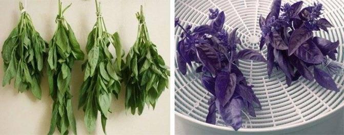 Как правильно сушить базилик на зиму