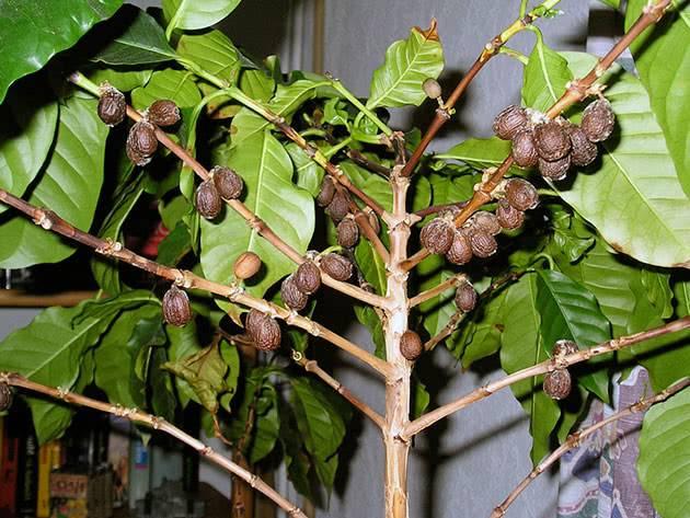 Как вырастить кофейное дерево дома - уход