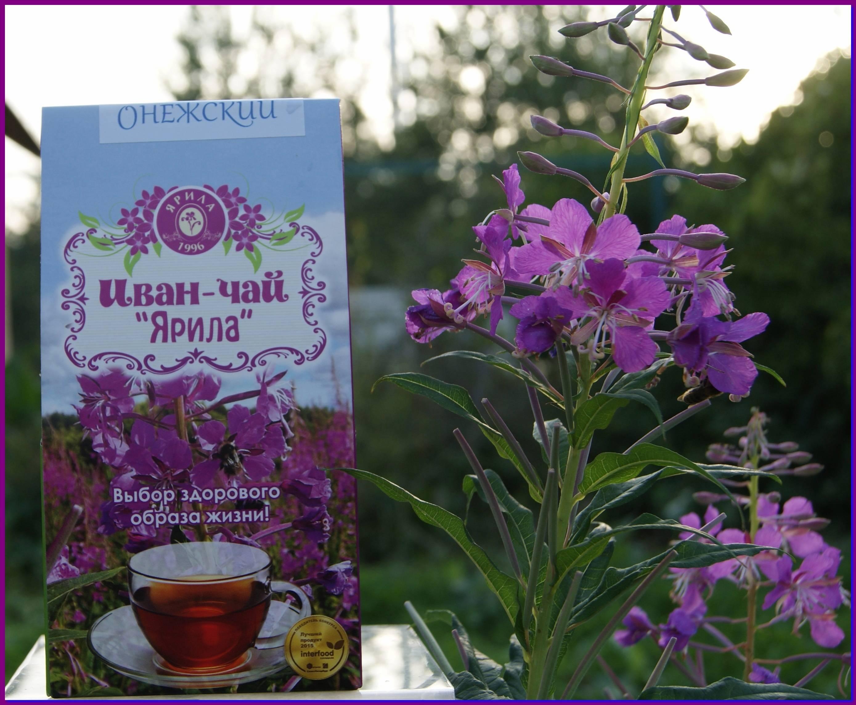 Иван-чай: лечебные свойства и противопоказания для женщин и мужчин (кипрей узколистный)