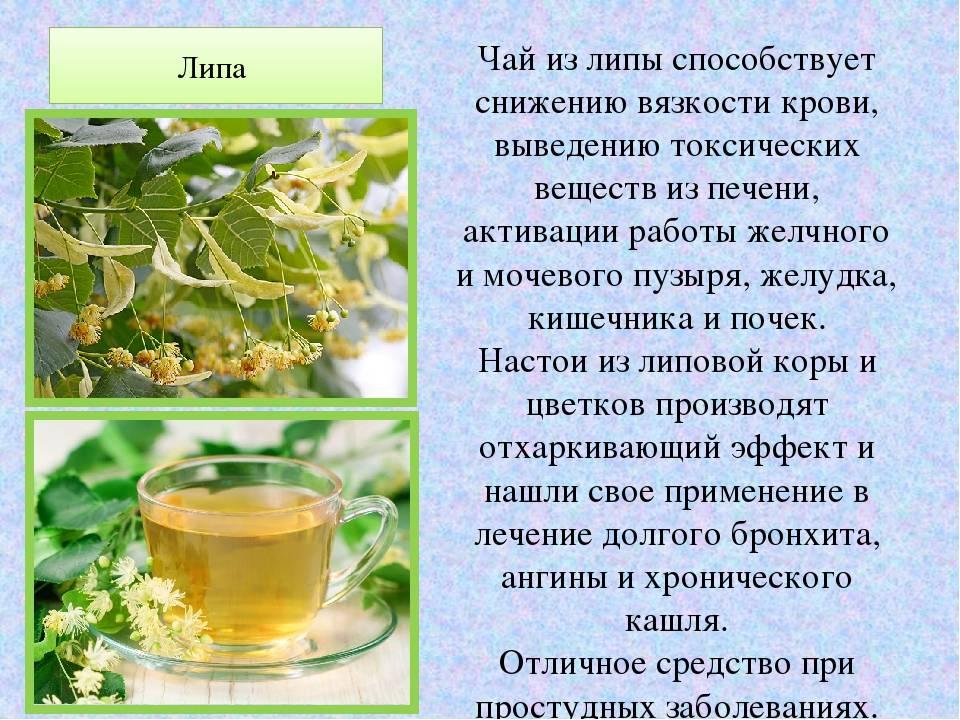 Мелисса при беременности: польза, рецепты как употреблять, можно ли на поздних и ранних сроках чай, фото