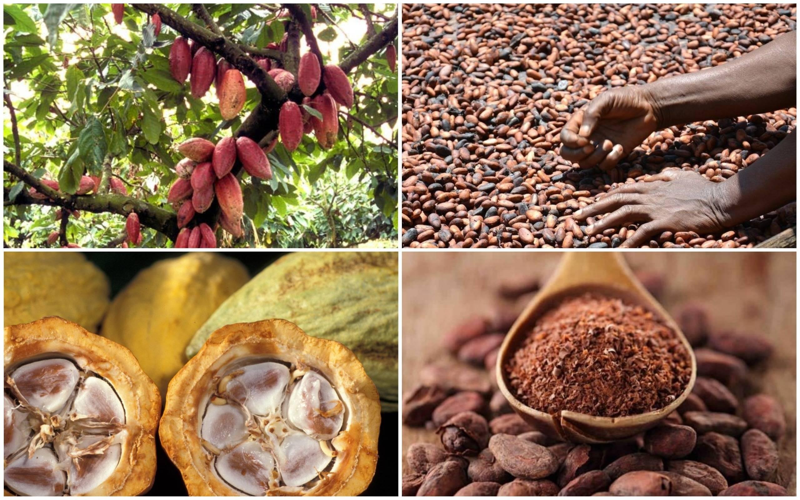 Какао дерево. история, описание, польза какао