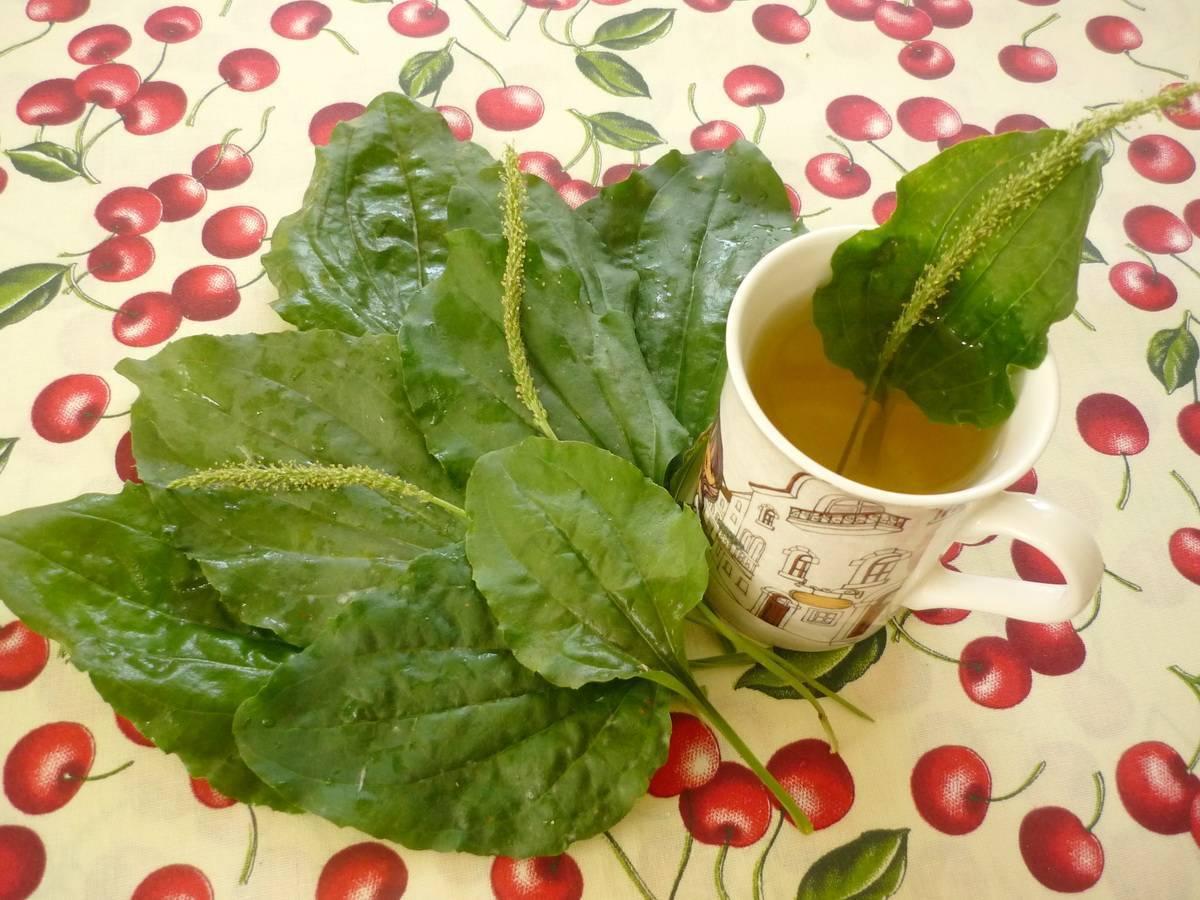 Чай из подорожника польза и вред
