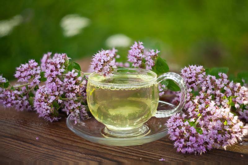 Полезные свойства чая с душицей и рецепты приготовления