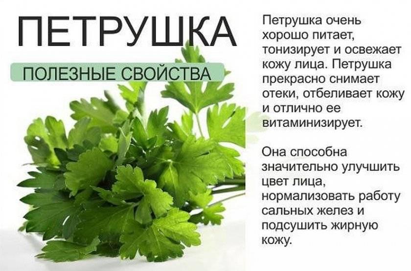 Чудодейственные лечебные свойства петрушки и противопоказания для ее употребления