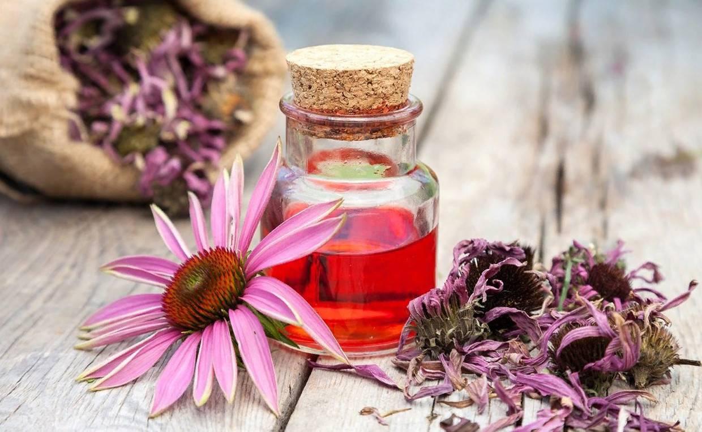 Эхинацея пурпурная: лечебные свойства и противопоказания | здоровье и красота