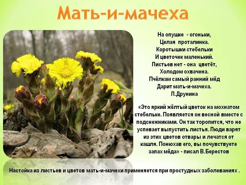 Трава мать-и-мачеха: полезные свойства, противопоказания, инструкция по применению детям