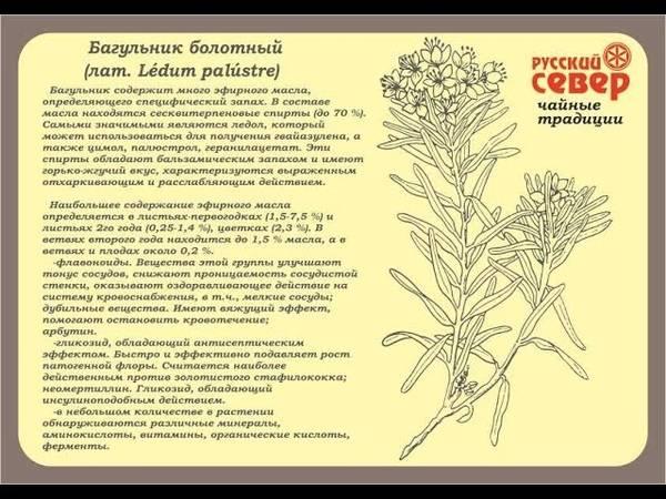Багульник - лечебные свойства и противопоказания