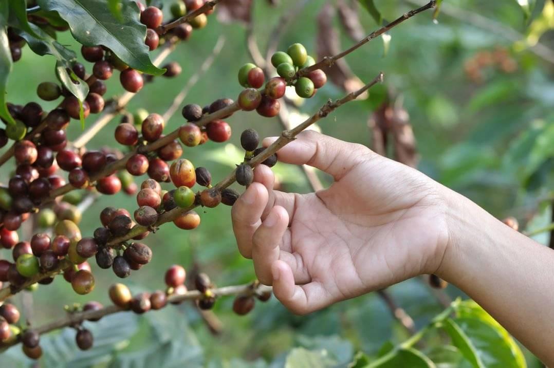 Перуанский кофе. история индустрии, география выращивания, сорта
