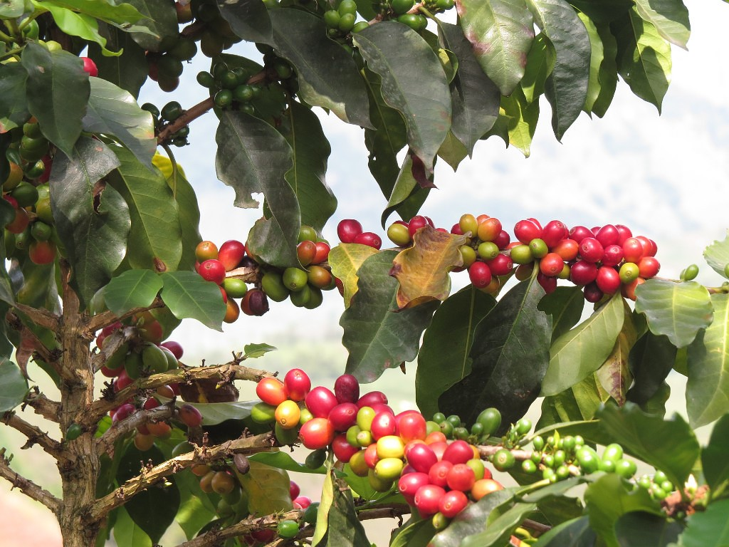 Колумбийский кофе: сорта, условия произрастания, производство