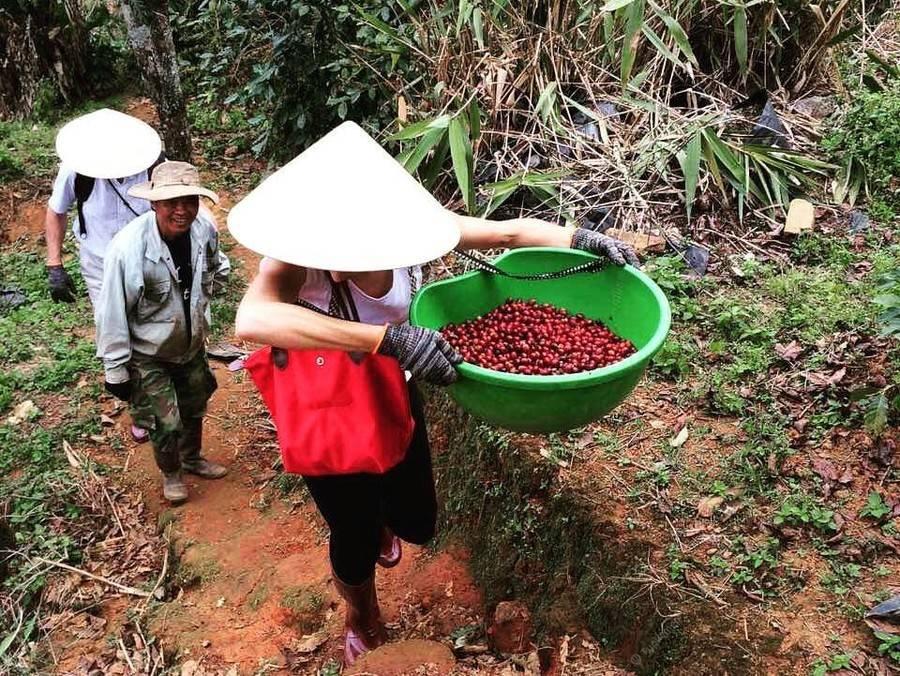 Кофе из вьетнама: сколько стоит и где лучше покупать, сорта, как готовить