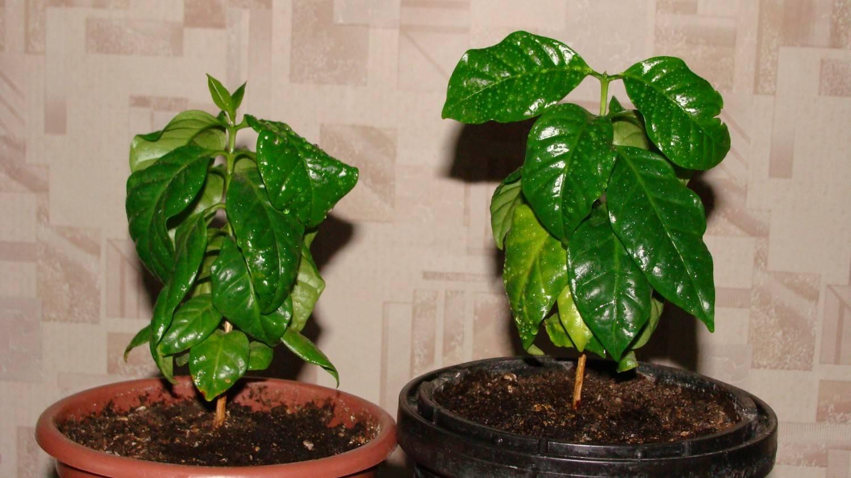 Кофейное дерево в домашних условиях. уход и размножение