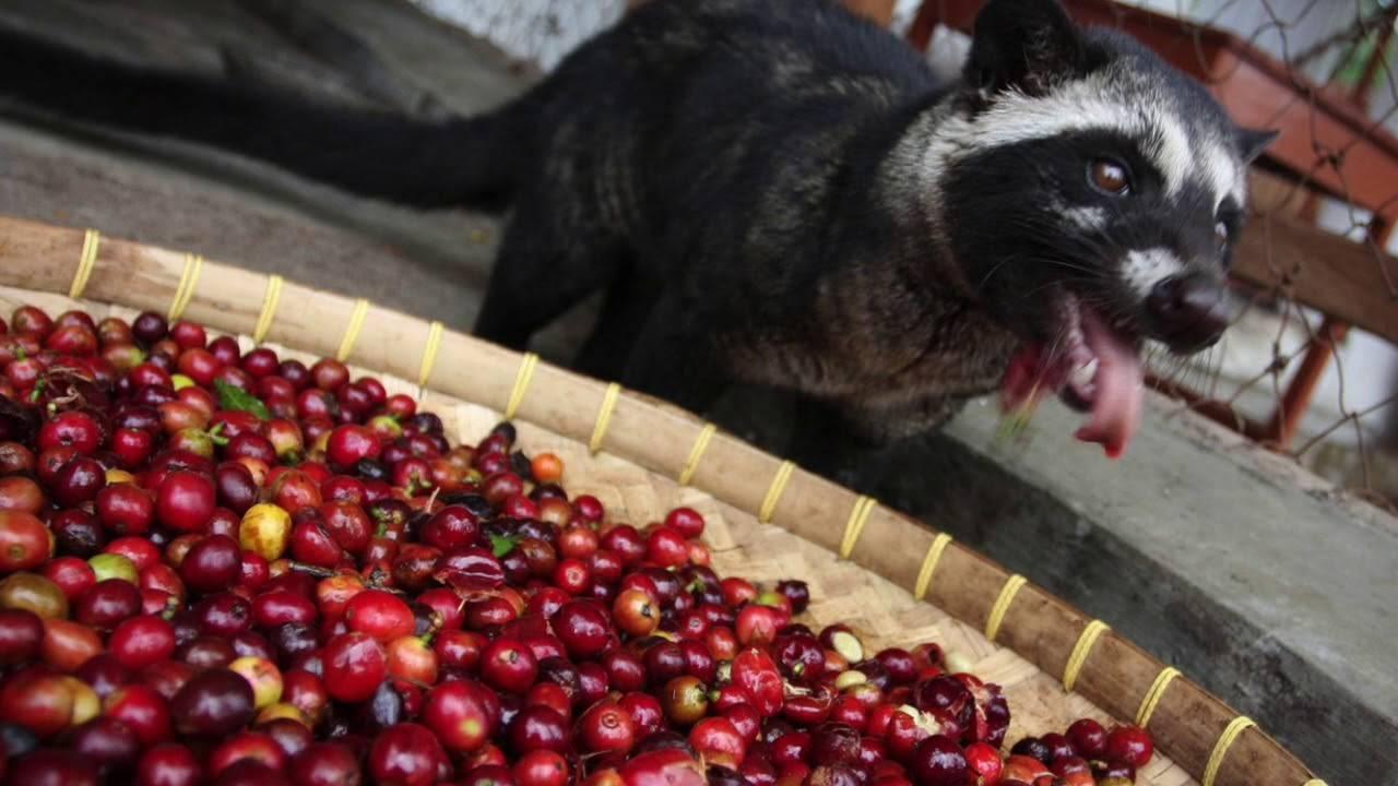 Самый дорогой кофе в мире отнюдь не копи лювак!   wikiq.ru