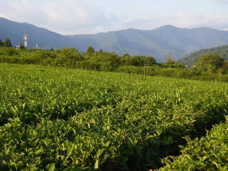Чай из краснодарского края
