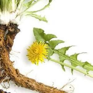 Как сушить корень одуванчика, цветы и листья