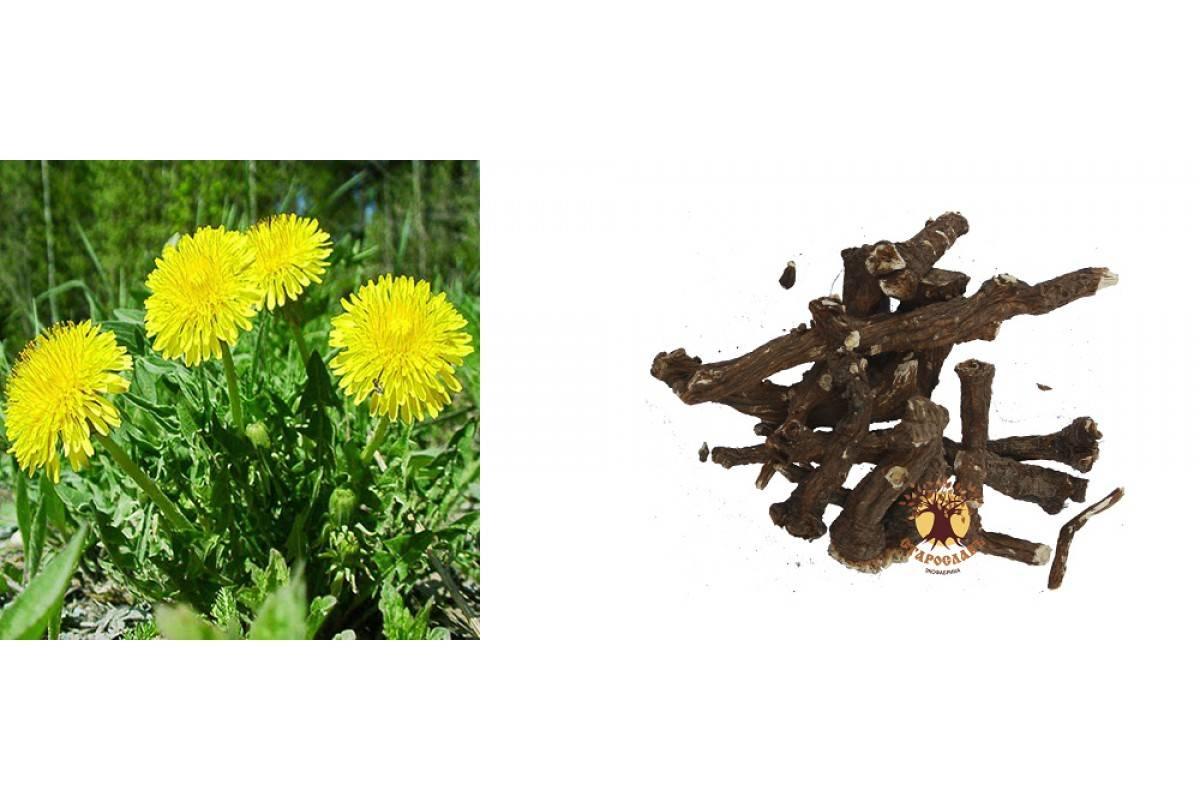 Одуванчик – солнечный цветок. лечебные свойства и противопоказания для женщин и мужчин. рецепты с применением одуванчика (фото & видео) +отзывы