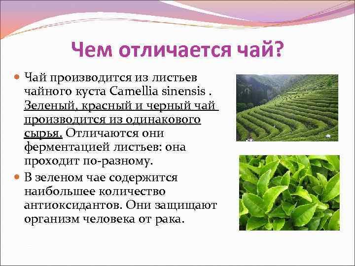 Зеленый чай и черный: в чем разница