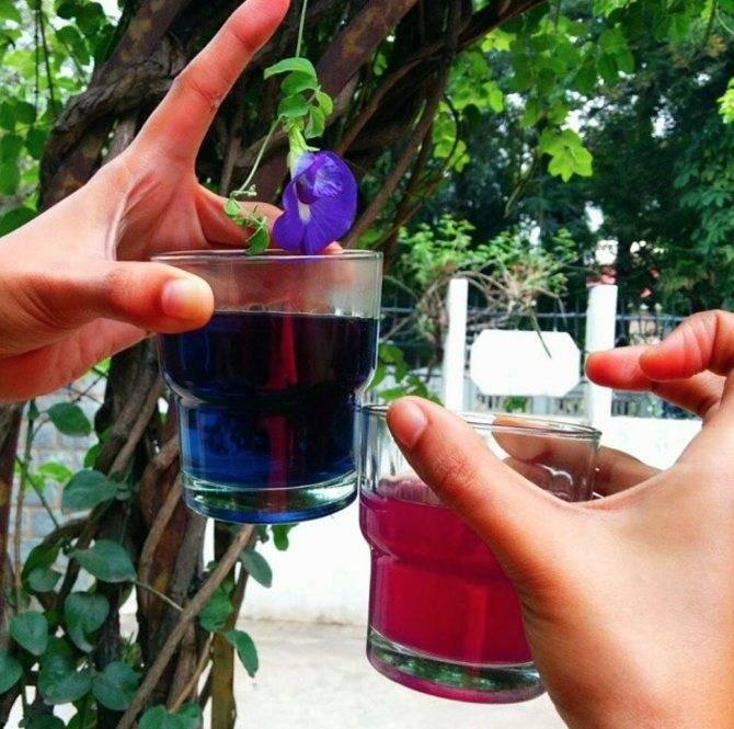 Синий чай из тайланда - полезные свойства и противопоказания