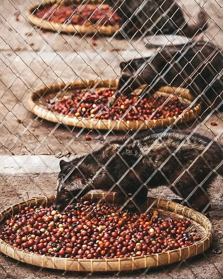 5 самых дорогих сорта кофе в мире и цена на них
