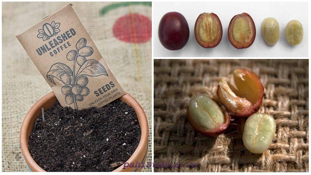 Кофейное дерево в домашних условиях - выращивание, уход, подкормка, пересадка, болезни