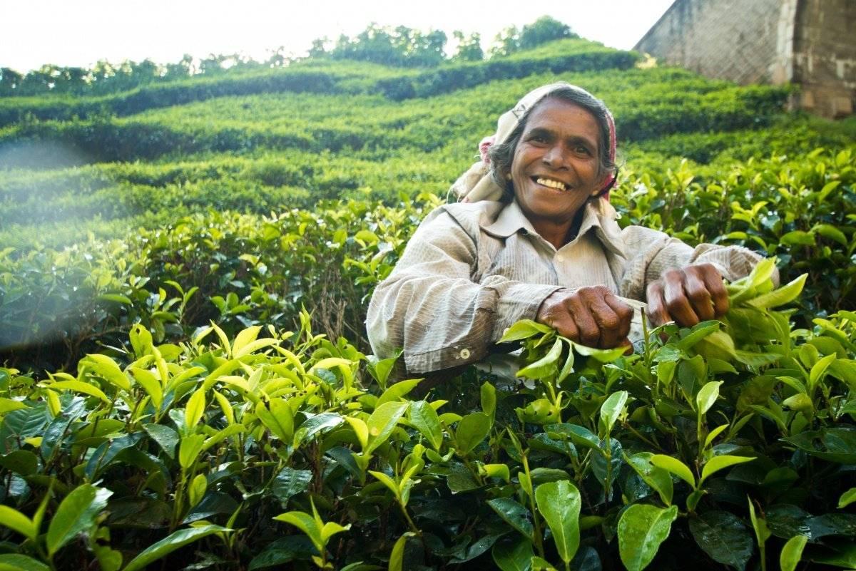 Где и как покупать чай на шри-ланке? | j.travel