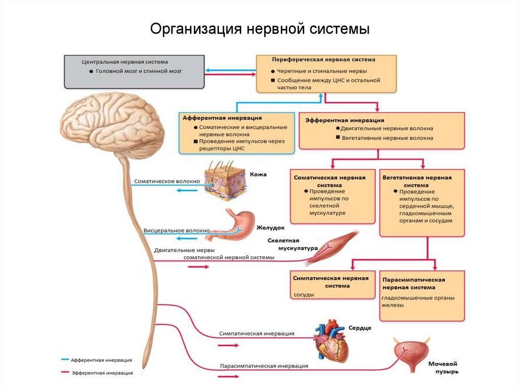 Как кофе влияет на нервную систему, мозг: раздражительность, возбуждение