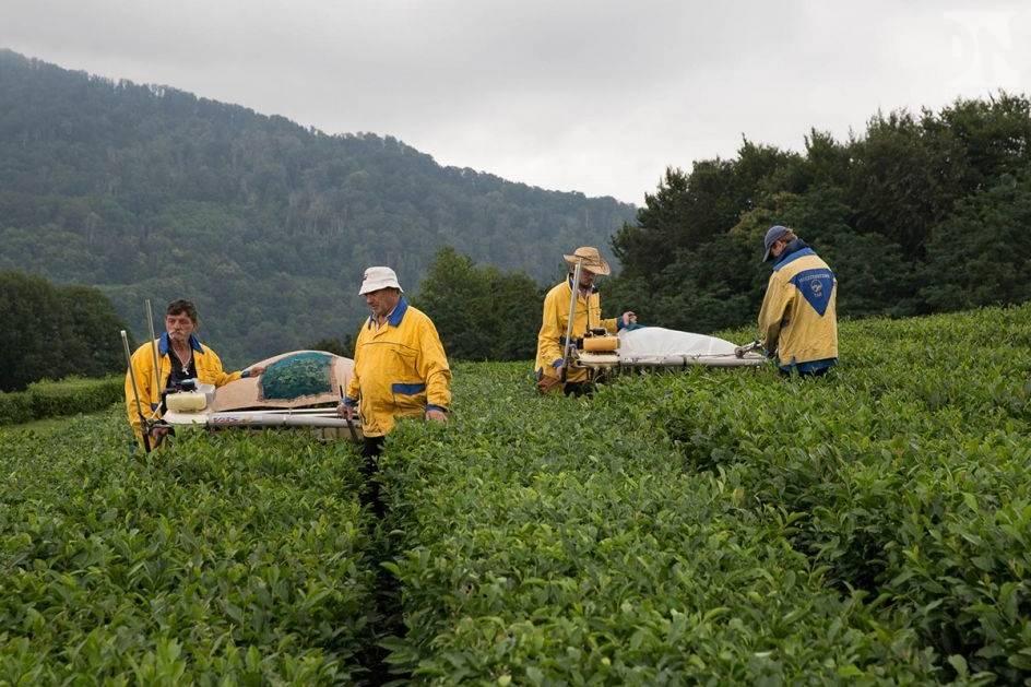 Краснодарский чай: виды, состав, где выращивают
