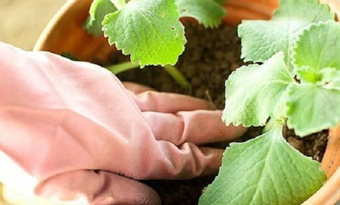 Применение спитого чая или заварки как удобрения для огорода